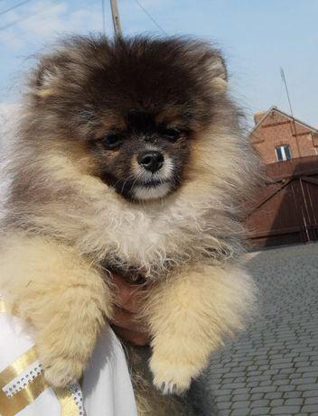 Szpic miniaturowy /Pomeranian Samczyk