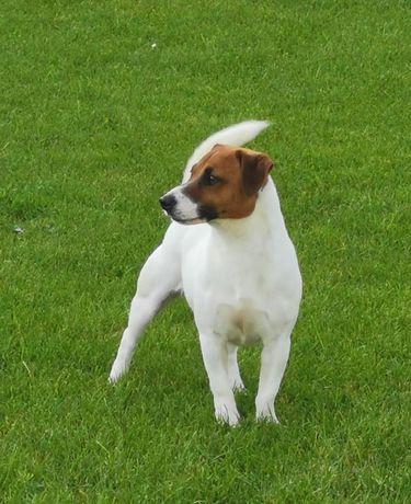 Jack Russell Terrier-reproduktor
