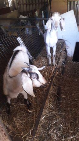 Vendo cabras cruzadas