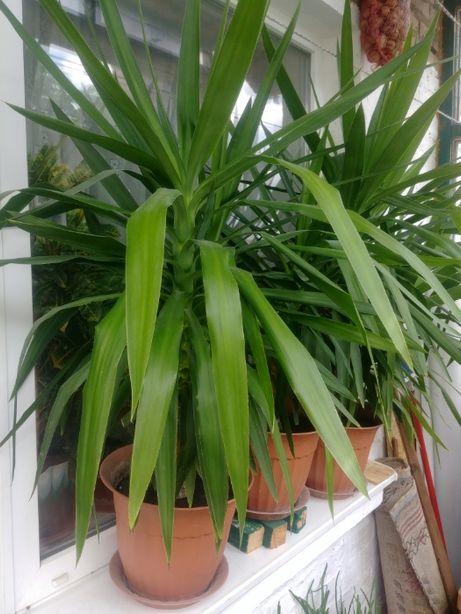 юкка, пальма, комнатное растение, распродажа! срочно!
