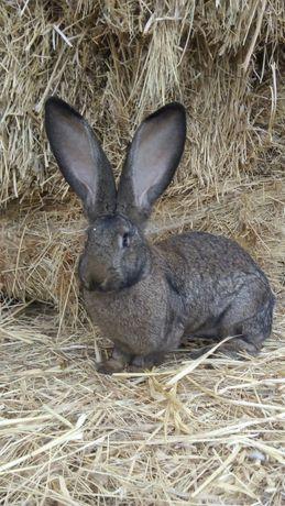 Продам кролей породы бельгийский великан