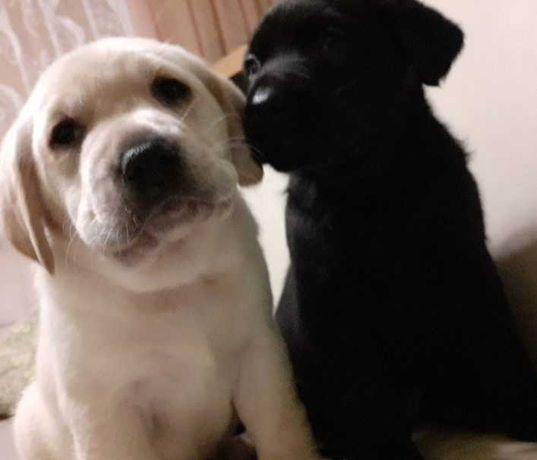 Labrador retriever rodowodem do rezerwacji odbior poczatkiem czerwca