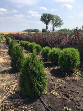 Хвойные растения с питомника