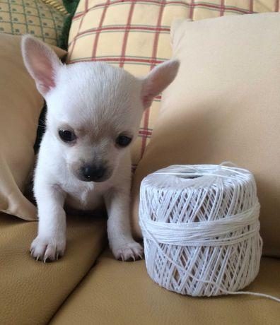Chihuahua Soberbo