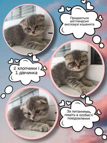 Продам веслоухих кошенят