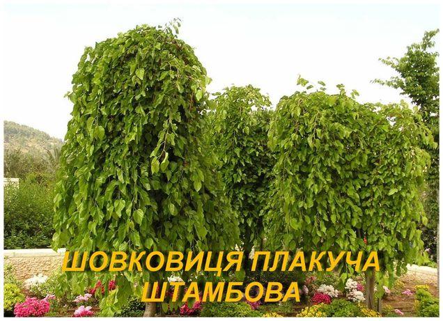 """Шелковица штамбовая """"Плакучая"""","""