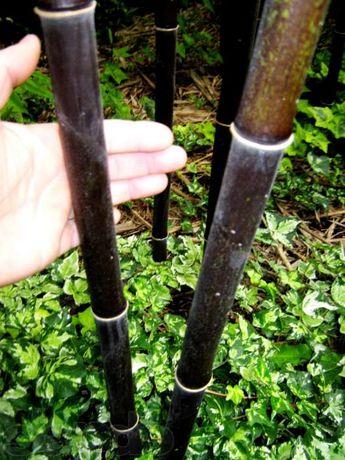 Продам бамбук для открытого грунта