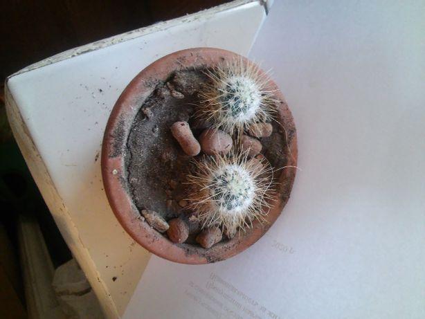 Излишки кактусов