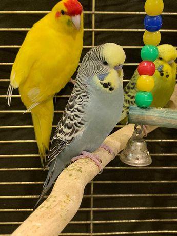 Выставочный волнистый попугай ЧЕХ – лучший говорун