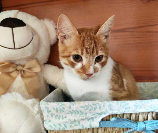 Котенок, рыжий окрас, мальчик