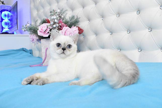 Британский котик с яркими синими глазами,шиншилла поинт