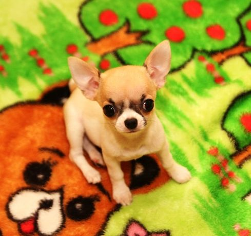 Кукляшные щенки чихуахуа