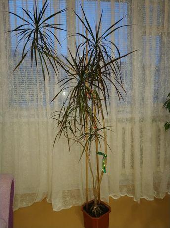 Вазон. Драцена, фикус, пальма