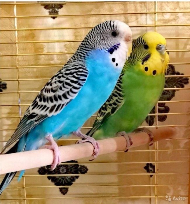 Волнистые попугаи Константиновка - изображение 1