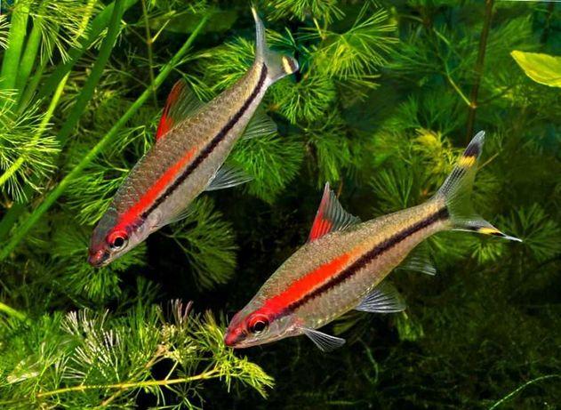 Рыбка барбус Денисони