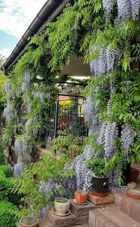 Sadzonki wisterii.