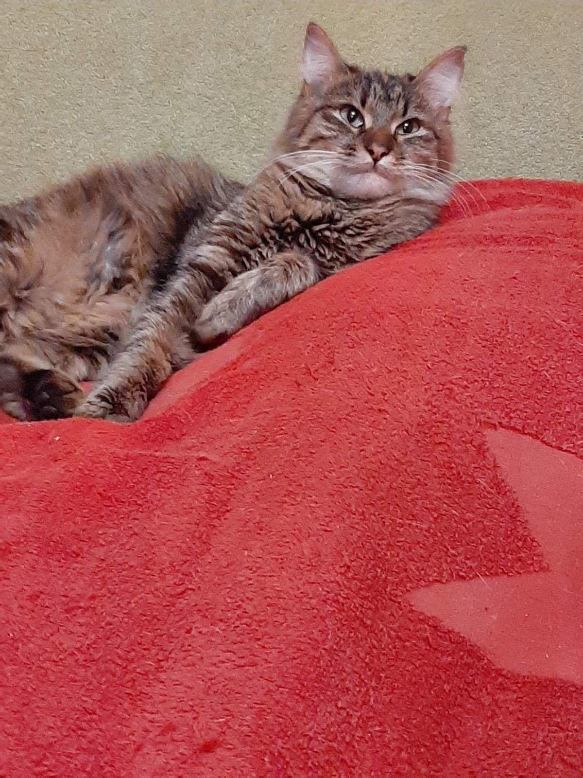 Отдам пушистую кошку лесного окраса ,стерилизована , 7 месяцев
