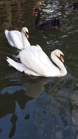 Casal de cisnes adulto