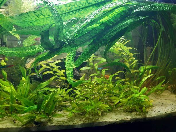 Kryptokoryna karbowana długa bez ślimaków i glonów roślina akwariowa
