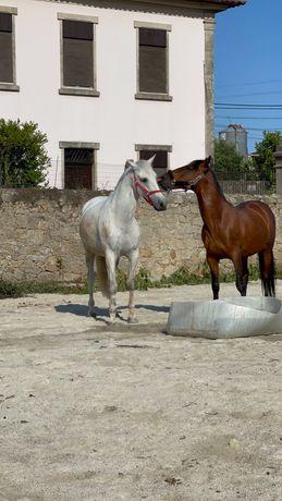 Cavalo com 10 anos a saber fazer piaffe