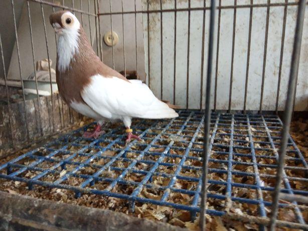 Sprzedam samczyka gąski węgierskiej 016r. Gołębie ozdobne.