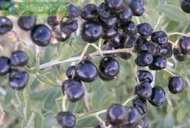 30 sementes de Goji preto