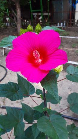 семена Гибискуса травянистого ярко розовый Королевский