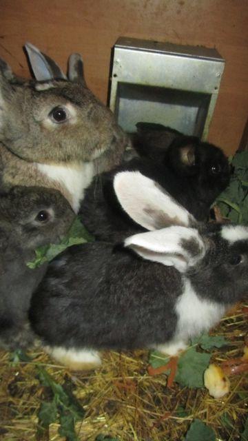 królik hodowlany