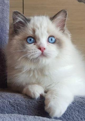 Ragdoll.koteczki z rodowodem F.P.L.