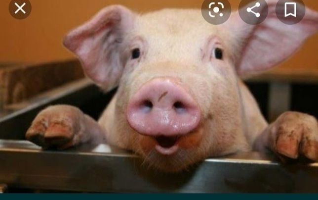 Продам свиню вигодувану на домашніх кормах !!