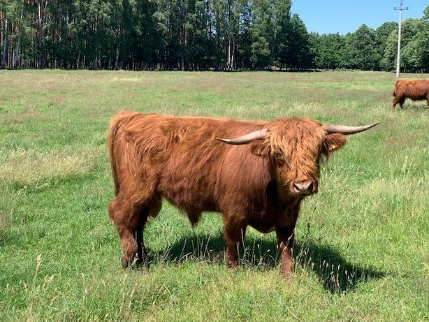 Byki 3-4 latki Higland cattle bydło miesne..