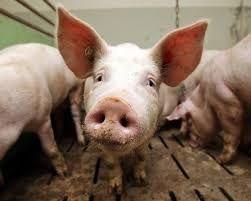 Домашнее свиное мясо