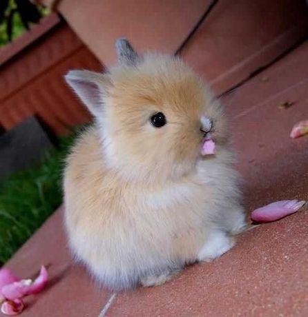 KIT coelhos anões mini + gaiola nova + comida