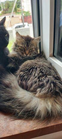 Сибирская кошка Мышка