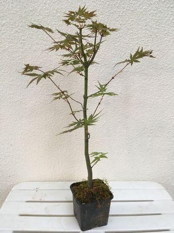 Acer palmatum 40cm a 80cm para bonsai ou jardim