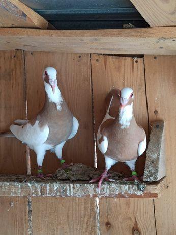 Bagdeta norymberska para gołębie ozdobne