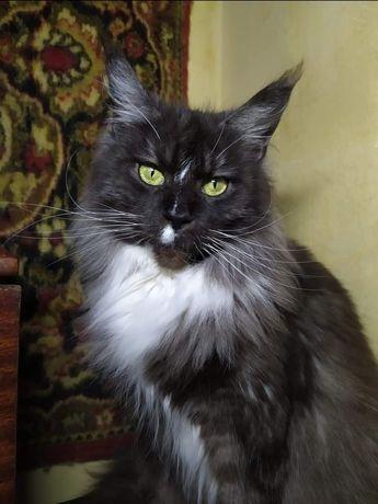 Огромная кошка Мейн Кун в поисках любящей семьи. Чемпион породы в WCF.