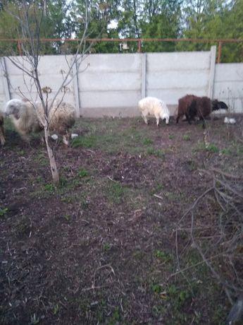 Овцы курдючные на племя