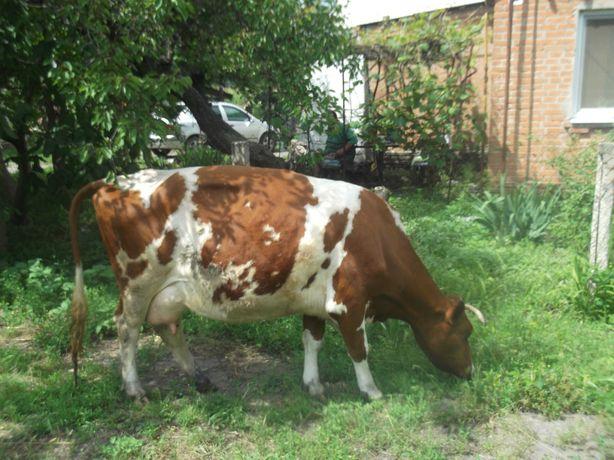 ПРОДАМ дійну корову.