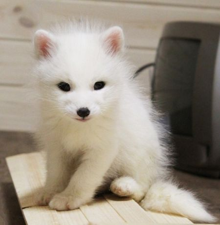 Белые лисята, мраморная лисица. Домашняя лиса