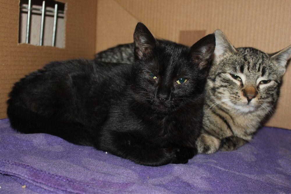 Piękne kociaki do adopcji - czarna Jagódka i pręgowany Inżynier Wrocław - image 1