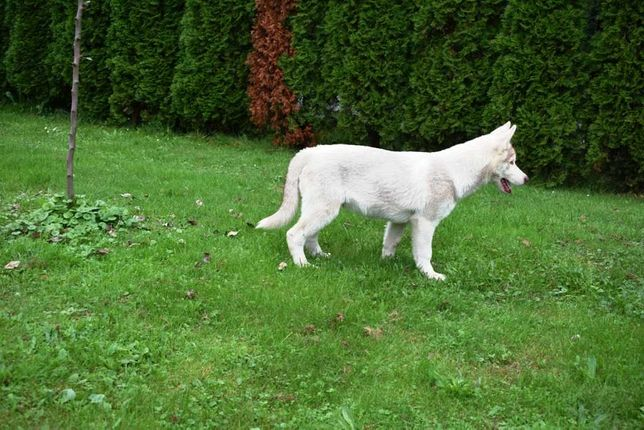 Piękne siberian husky ostatni piesek