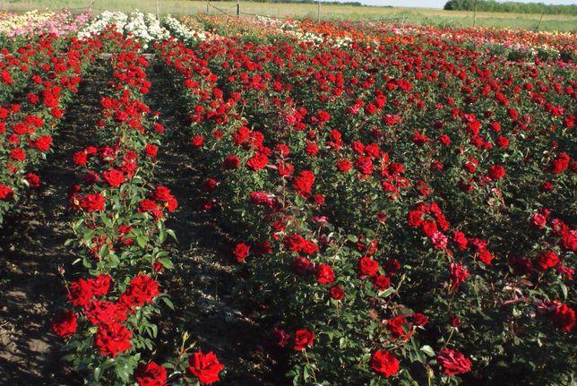 Саженцы роз от производителя (более 100 сортов)