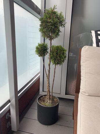 Drzewko z donicą na balkon/taras