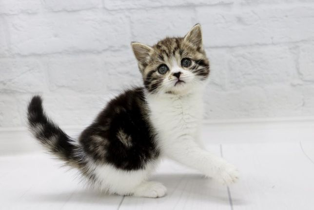 Красивая шотландская кошечка