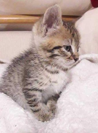 Серый полосатый котенок, девочка, 1,5 месяца, ласковая