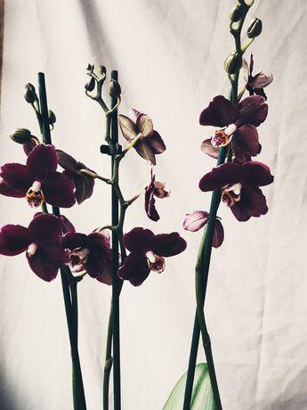 Орхідея Black purple