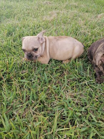 Bulldog francês Merle