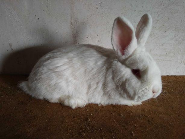 Кролики бройлерных пород НЗБ, НЗК, Венский Голубой, самцы  в чистоте