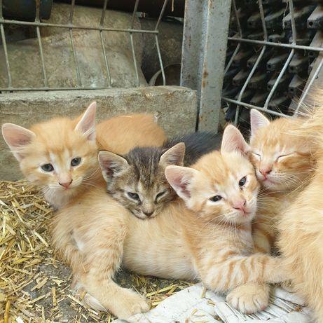 Котята ищут дом. Бесплатно.  В хорошие руки